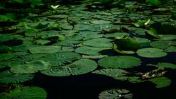 Water Drops On Torn Lotus Leaves (Nelumbo Nucifera) Footage