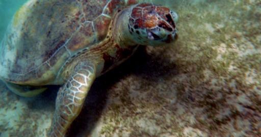 Eating Turtle Footage