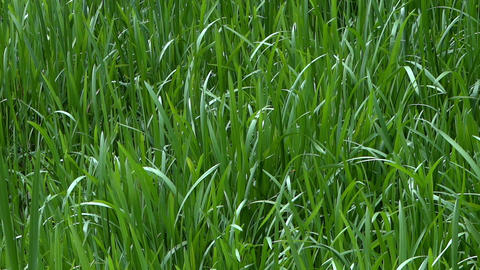 Windy Grass - Background Loop stock footage
