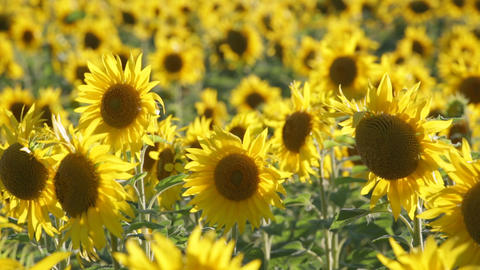 Big field of the blossoming sunflowers lit with the bright summer sun, panning Footage