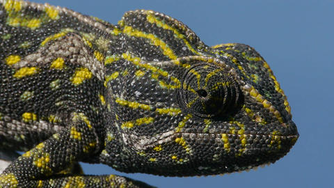 Closeup Of Common Chameleon stock footage