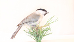Willow tit Parus montanus on a white background Footage