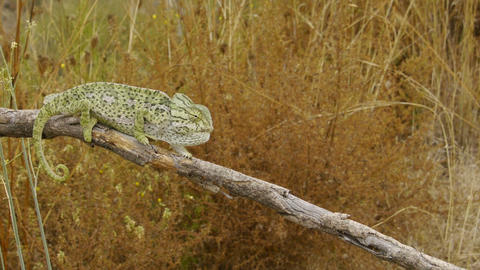 common chameleon male Footage