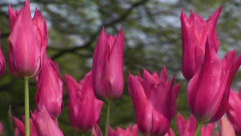 Tulipa Mariette Stock Video Footage