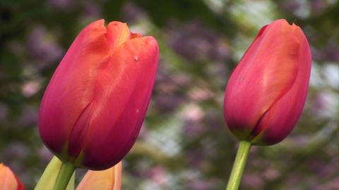 Tulipa Avignon Stock Video Footage