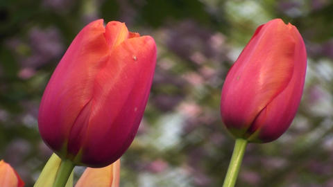 Tulipa Avignon Stock Video Footage