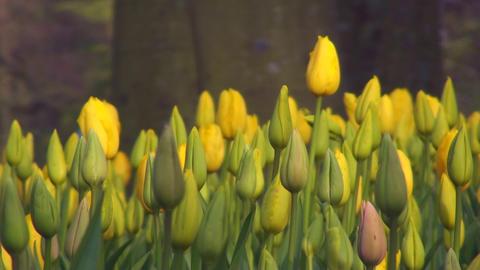 Tulipa Roi du Midi Stock Video Footage