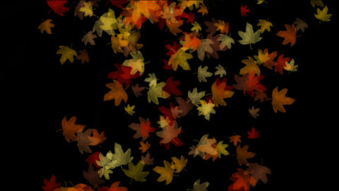 group of golden maple leafs... Stock Video Footage