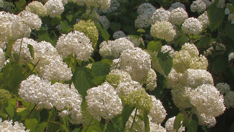 Flowers of Hydrangea in Showa Kinen Park,Tokyo,Japan Stock Video Footage
