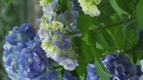 Flowers Of Hydrangea,Vertically Oriented Video,in Showa Kinen Park_5 stock footage