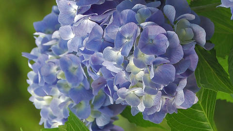Flowers of Hydrangea,Vertically Oriented Video,in Showa Kinen Park_6 Footage