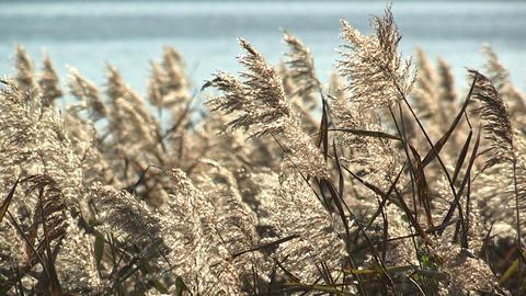 Japanese silver grass,in Kawaguchi Lakeside,Yamanashi,Japan Stock Video Footage