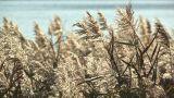 Japanese silver grass,in Kawaguchi Lakeside,Yamanashi,Japan Footage