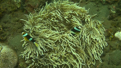 Clark s Anemonefish Stock Video Footage