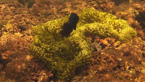 Spinecheek anemonefish Stock Video Footage