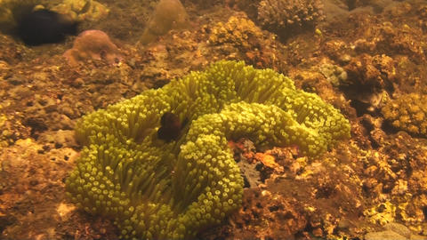 Spinecheek anemonefish Stock Video Footage