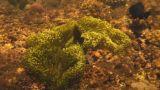 Spinecheek anemonefish Footage