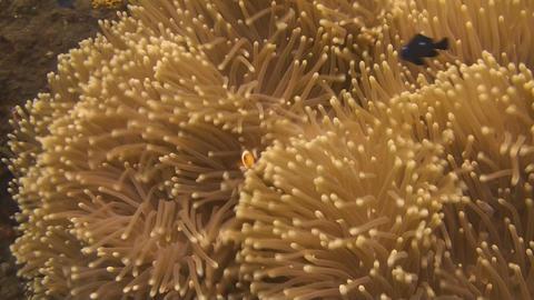 False clownfish Stock Video Footage