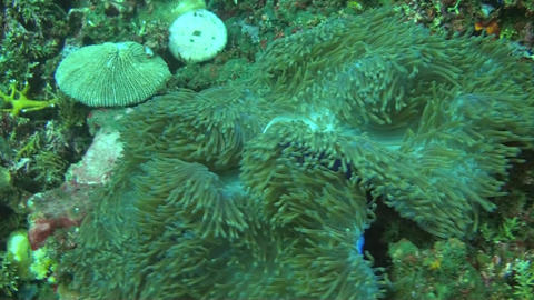 Pink anemonefish Stock Video Footage