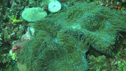 Pink anemonefish Stock Video Footage