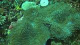 Pink anemonefish Footage