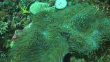Pink anemonefish Footage