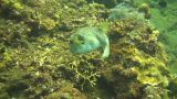 Whitespotted puffer Footage