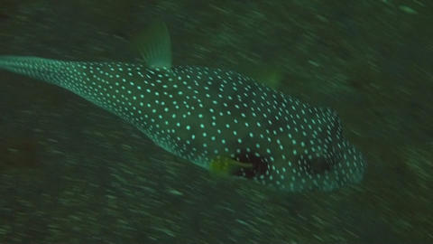 Whitespotted puffer Stock Video Footage