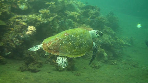 Green sea turtle Stock Video Footage