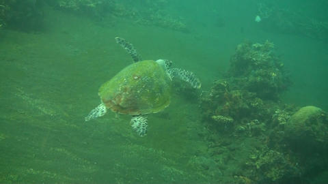 Green sea turtle Live Action