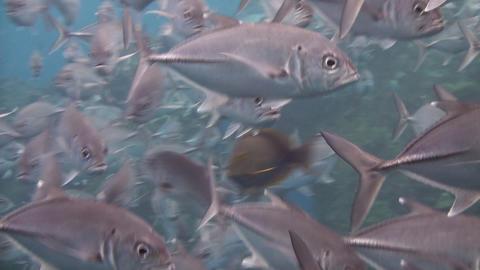 Bigeye jacks Stock Video Footage