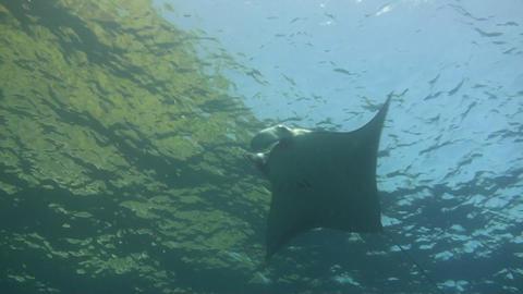 Giant manta ray Stock Video Footage