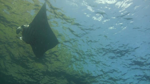 Giant manta ray Stock Video Footage