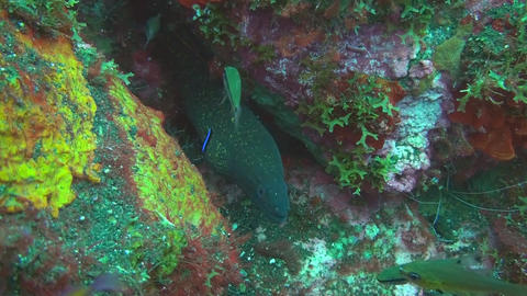 Giant moray Stock Video Footage