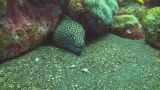 Honeycomb moray Footage