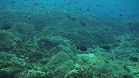 Neon damselfish Stock Video Footage