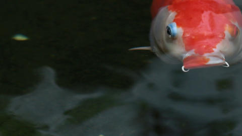 HD footage of Koi, Fancy Carp are swimming in above Footage