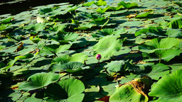 Blooming Lotus Flower(Nelumbo Nucifera) In The Summer With Sound Footage