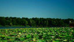 Lotus Leaves And Flowers (Nelumbo Nucifera) On Lake With Sound Footage