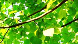 Princess Tree, Emperor Tree (Paulownia Tomentosa) , Rotating stock footage