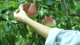 Girl Hand Verify Pear Fruit On Tree In August And Picking One Footage