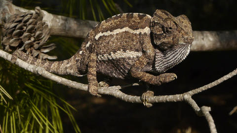 Chameleon With The Tip Of Its Tail Cut stock footage