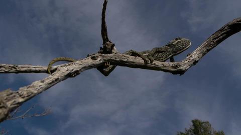 chameleon climbing branch Footage