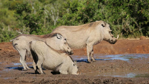 Warthogs drinking water Footage