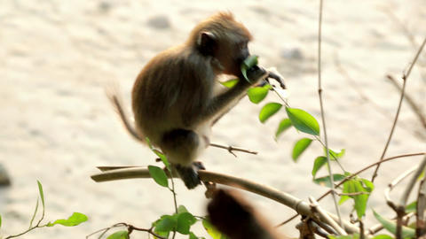 Small monkey sitting on a branch and eating leaves Footage