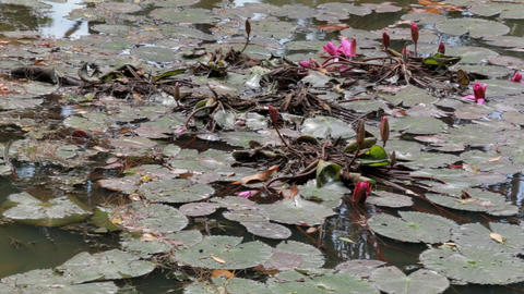 Floating water lily leaves with pink flowers Footage