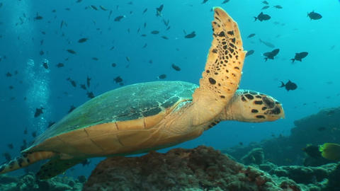 Swimming Turtle Footage