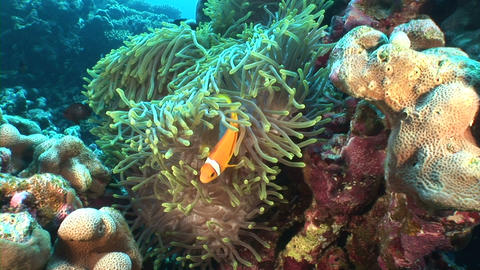 Zoom In Anemonefish stock footage