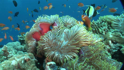 anemonefish and anemone Footage
