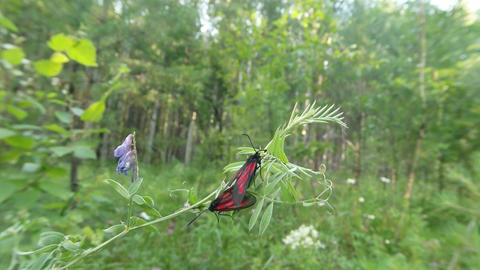 A Pair Of Red Butterflies Mating Season On A Background Of Green, Close-up stock footage